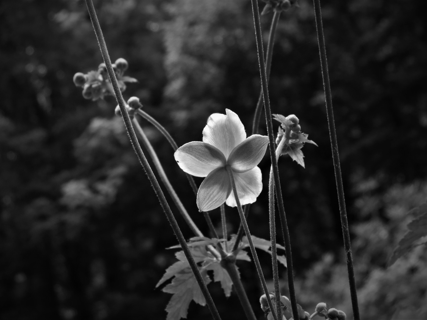 black and white photo of flower